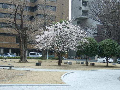 東大工学部の桜