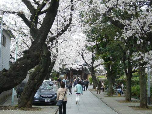 法明寺・桜