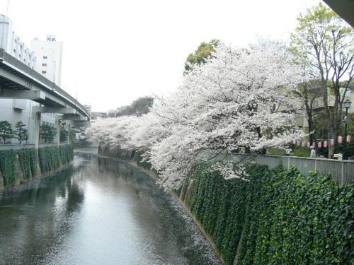 江戸川橋・桜