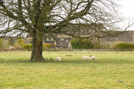 くつろぐ羊
