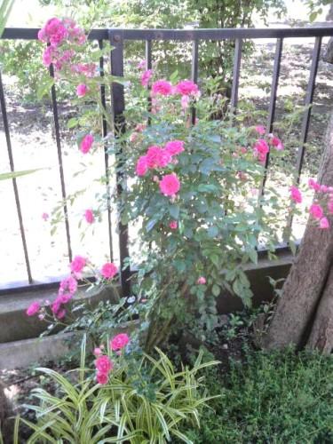 20100528 (4)バラ