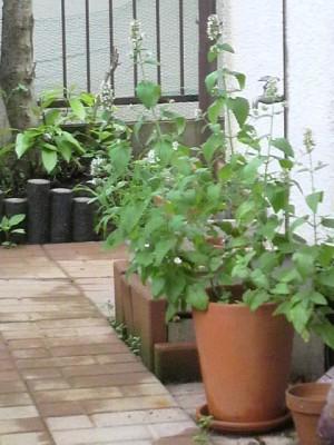 庭のキャットニップ