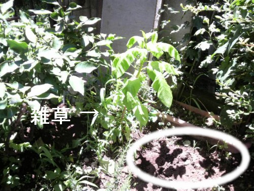 雑草だらけの庭5
