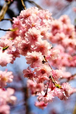 2009-04-12 綾部さくら