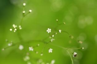 0522 三つ葉の花