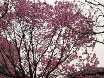 10-3-28 桜