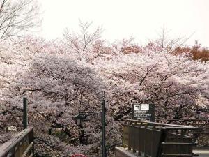 11-4-7 桜2
