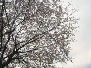 11-4-10 桜あぷ