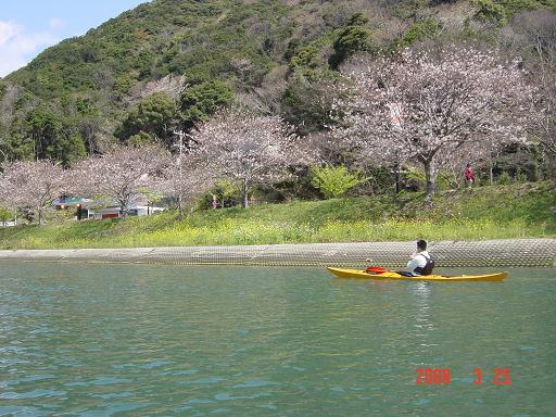 ダイちゃん桜