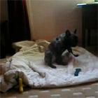 オナニー犬