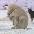 シロクマとシベリアンハスキー