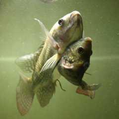 お腹がくいっついた魚