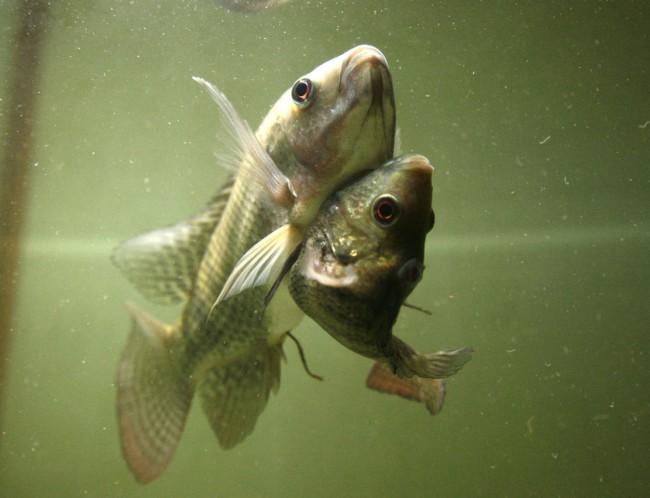 twins-fish01