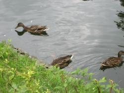 池の中には鴨♪