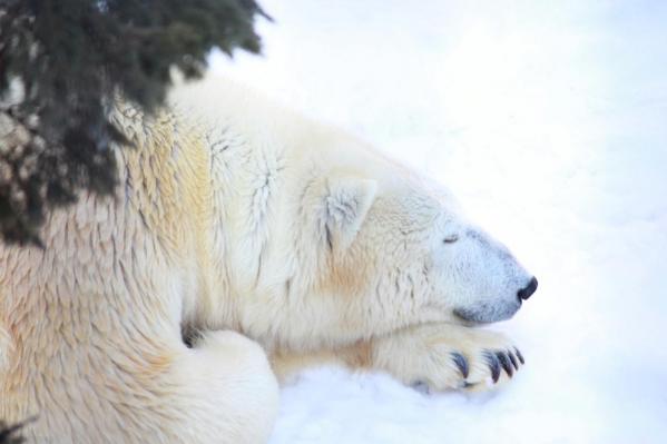 おやすみ白熊