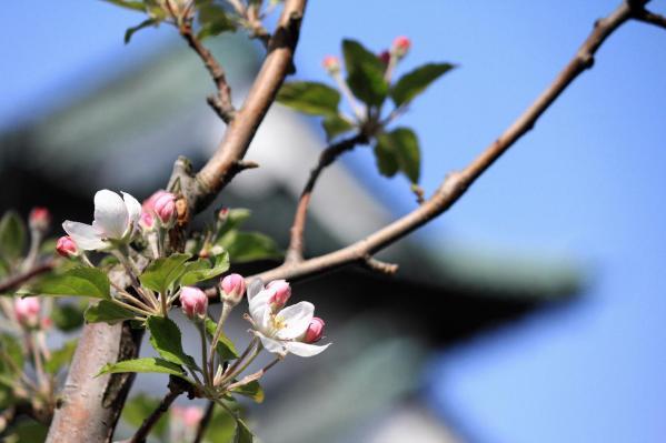 弘前リンゴの花