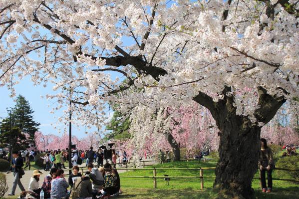 弘前の桜10
