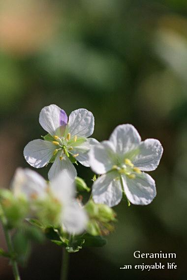 geranium_ss01.jpg