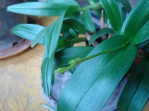 orchidea sep2008