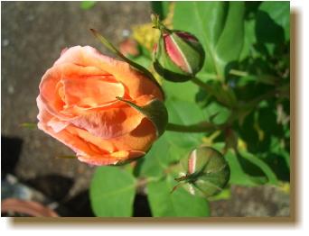 つるバラルーピング開花・2010