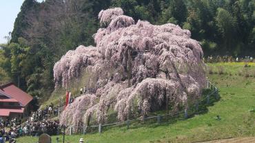 2010年 4月25日 滝桜横2