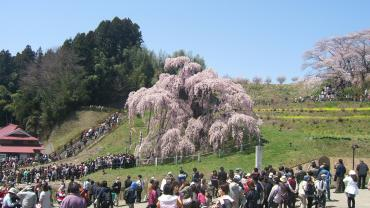 2010年 4月25日 滝桜横