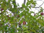 くぅ~るの好きな木の実
