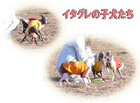 イタグレの子犬たち★