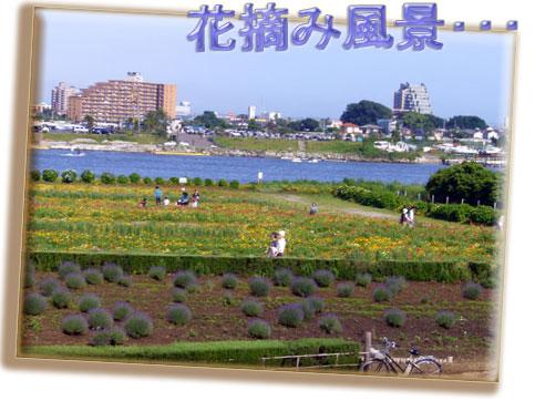 花摘み風景・・・