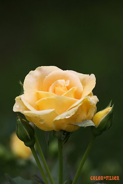 一輪の黄色いバラ