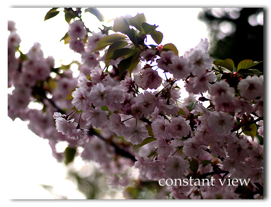 JIJI'S PHOTO WORKSHOP「CHERRYBLOSSOM 」 SUITE 1 「 桜 」  2008 5/8  UP DATE !