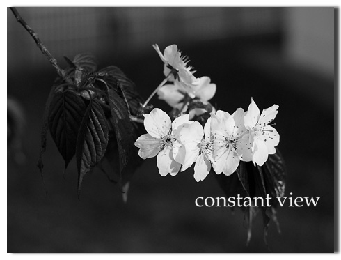 MONOCHROME CHERRY TREE