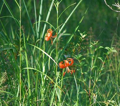 湿地の咲いたコオニユリ