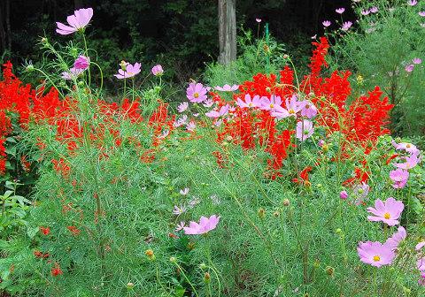 サルビアの花園
