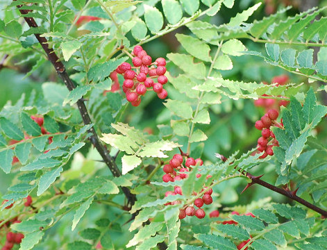 サンショウの赤い実