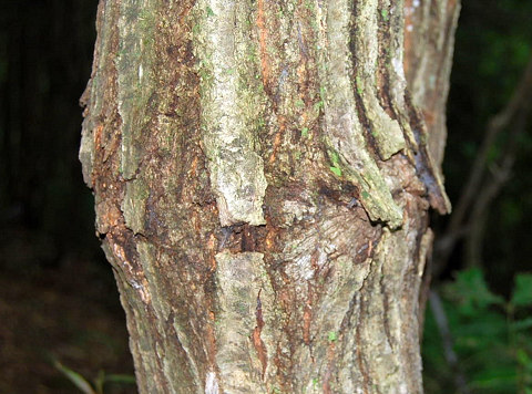 コナラのカミキリムシの痕