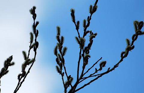 ヤナギの花穂1