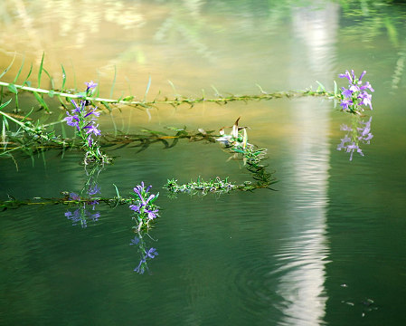 水面にサワギキョウ