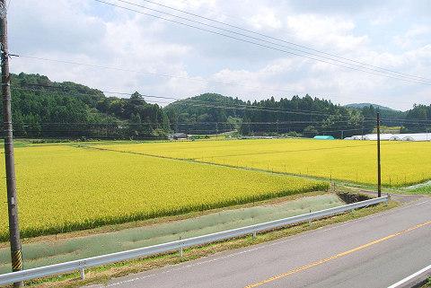 黄色い田んぼ