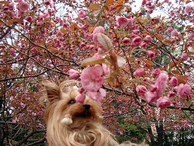 八重桜も咲きました