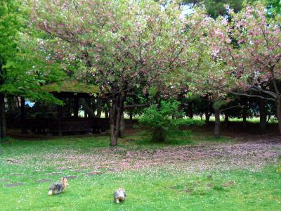 桜の季節も終わりだね