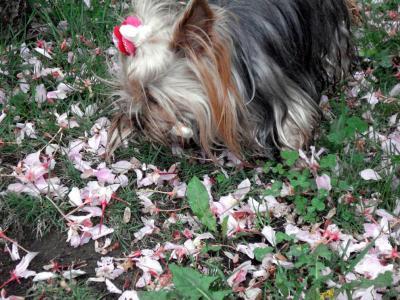 桜を食べようとするラビちょ