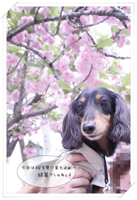 今日は桜を