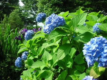 ひょこたん池公園の紫陽花