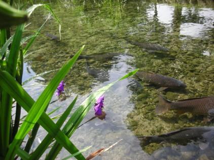 ひょこたん池公園の鯉