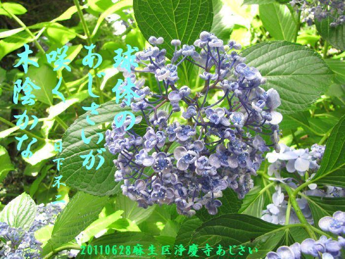 0628ajisai2