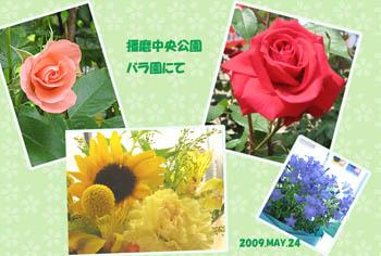 播磨中央公園バラ園のコピー