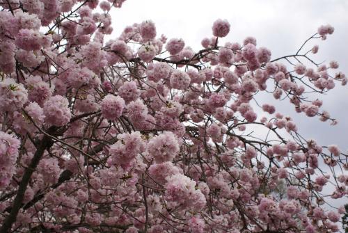 醍醐寺ボタン桜