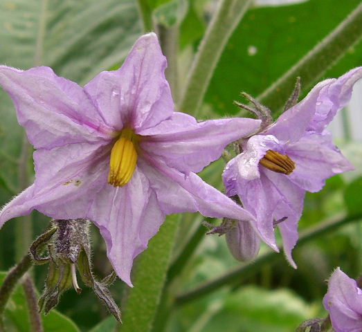 白ナスの花