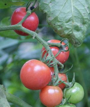 トマト ジュレピンク